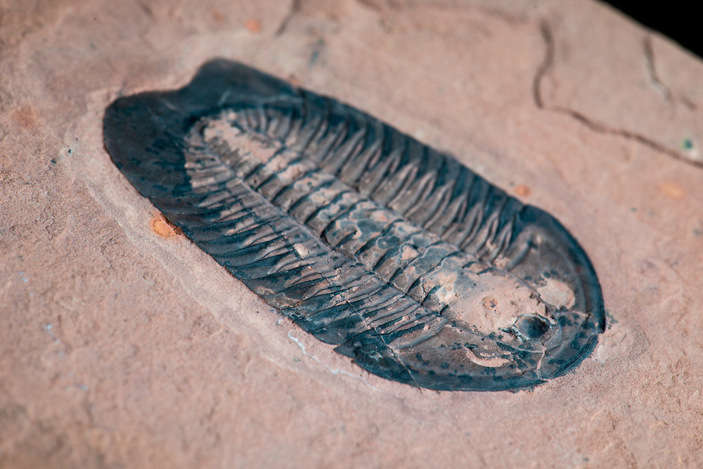 This Coosella kieri (sagittal length: 57mm) is a rare Middle Cambrian ptychopariid trilobite collected from the Weeks Formation in the House Range, Millard County, Utah