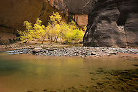 Trees displaying fall foliage in the Zion canyon narrows, Zion National Park Utah USA