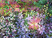 frosted autumn wild huckleberr plants, Mt. Rainier National Park
