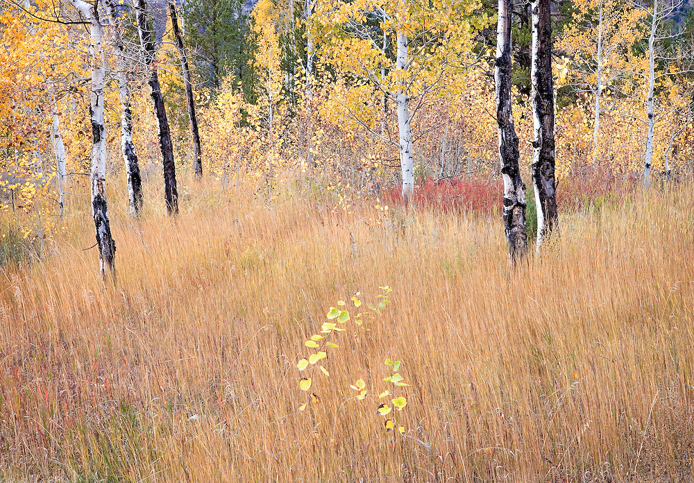 autumn aspen trees in field, Swan Valley, Idaho