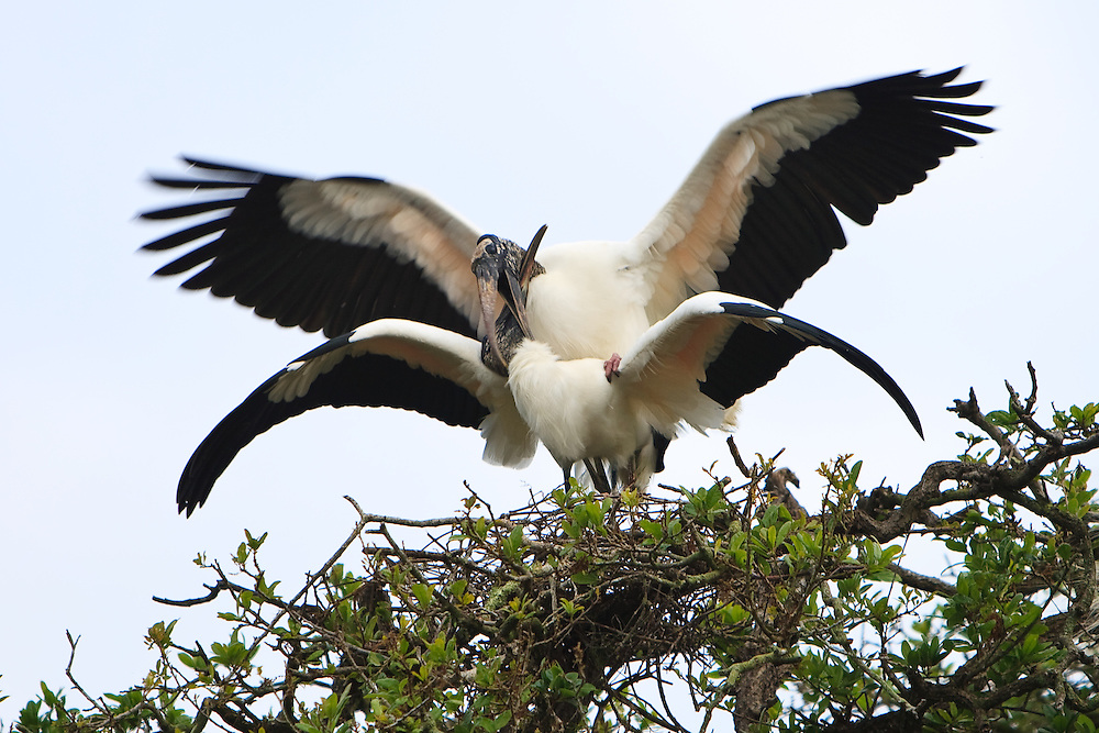 A nesting pair of wood storks (Mycteria americana) mating at the nest, St. Augustine Alligator Farm Rookery, Anastasia Island, St. Augustine, Florida