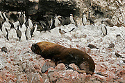 A SEA LION IS SLEEPING SURROUNDED BY PENGUINS IN ONE ISLAND OF THE GROUP CALLED BALLESTAS ISLANDS IN THE SOUTH OF PERU.