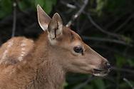 Elk calf profile portrait. Greater Yellowstone Ecosystem, © 2019 David A. Ponton