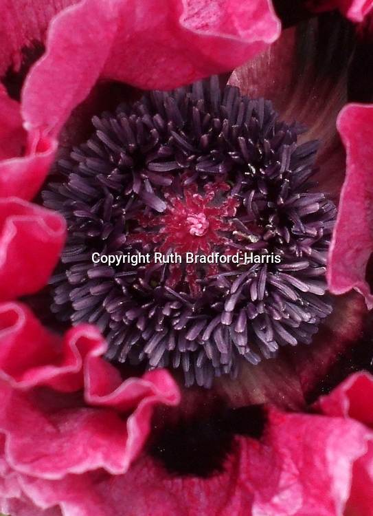 A very full ring of exquisitely metallic-looking grape-purple central stamens at the heart of a Papaver orientale ('Oriental Poppy') 'Medallion' flower. The surrounding ruffled magenta-cerise petals have pronounced black blotches. <br />
