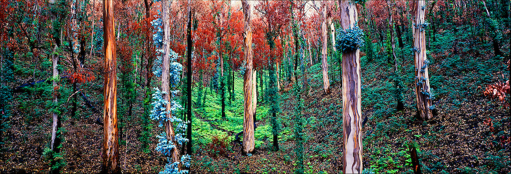 Regrowth after Bush Fires, Snowy Mountains, NSW, Australia