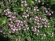 LARGE THYME Thymus pulegoides (Lamiaceae) Height to 15cm. Rather tufted and sometimes mat-forming perennial that lacks woody runners. The whole plant is strongly aromatic, smelling of culinary thyme. Grows on chalk downland and dry heaths. FLOWERS are 4-6mm long and pinkish purple; borne in whorls and terminal heads, all with purplish bracts and on stems with rows of hairs down the 4-angles and downy hairs on 2 opposite sides (Jun-Aug. FRUITS are nutlets. LEAVES are ovate, short-stalked and opposite. STATUS-Common in S but scarce or absent elsewhere.