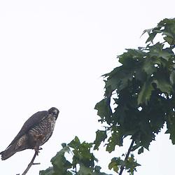 Peregrine Falcon (Falco peregrinus), Stuart Island, San Juan Islands, Washington, US