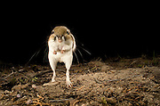 An ord's kangaroo rat (Dipodomys ordii), seen at a funny angle as it bgins to jump, at night. Ochoco National Forest, Oregon.