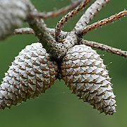 Pitch pine tree cones, Pinus rigida. These trees also found in the Pine Barrens of New Jersey, have cones that do not open to release seeds unless heated to 130 degrees farenheit. An adaptation to forest fires. Richard DeKorte Park, Meadowlands, Lyndhurst, New jersey, USA, North America