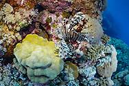 Red lionfish-Rascasse volante (Pterois volitans), Red sea, Soudan.