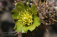 Cactus flower, Isla Santa Catalina, Baja California Sur, Mexico.