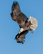 Bald eagle in diving flight against clear sky, feet down in preparation for strike, © 2005 David A. Ponton