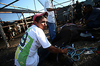 A horse is held down as it receives first aid after being injured during the Corralejas in Sincelejo, Colombia on Saturday, January 19, 2008. The corraleja, a bullfighting ritual in northern Colombia pitting hundreds of amateur matadors, many in advanced stages of inebriation, against a 900-pound bull. Regarded in other parts of Colombia as a bizarre spectacle, the corralejas are passionately defended by people of the northern savannas, an impoverished region. (Photo/Scott Dalton).