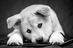 Akita puppy white & tan - owner Julie Burke