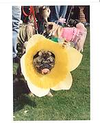a pug owners picnic. Pug  in fancy dress at glyndebourne. 2003 ONE TIME USE ONLY - DO NOT ARCHIVE  ¬© Copyright Photograph by Dafydd Jones 66 Stockwell Park Rd. London SW9 0DA Tel 020 7733 0108 www.dafjones.com<br /> a pug owners picnic. Pug  in fancy dress at glyndebourne. 2003 ONE TIME USE ONLY - DO NOT ARCHIVE  © Copyright Photograph by Dafydd Jones 66 Stockwell Park Rd. London SW9 0DA Tel 020 7733 0108 www.dafjones.com