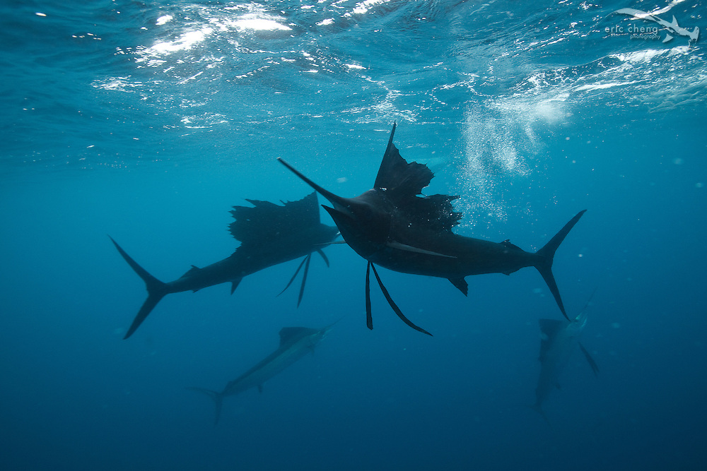 Atlantic sailfish (Istiophorus albicans) hunt baitballs in Isla Mujeres, Mexico.