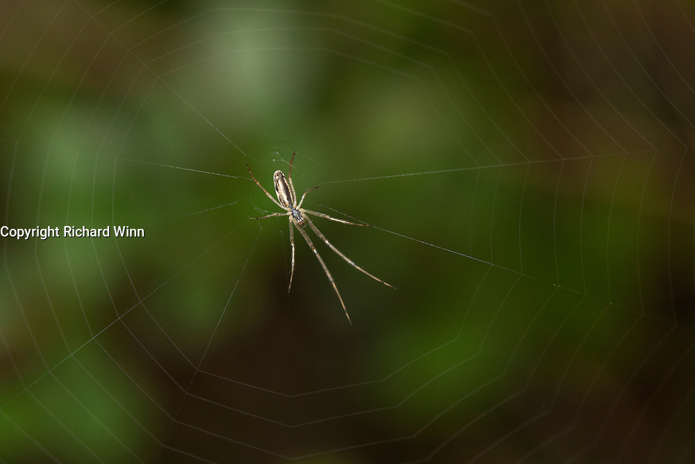 Male Tetragnatha extensa spider in the centre of its web, using macro flash to light the web and enhance the colours on the body.