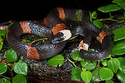 Flame Snake or False Coral (Oxyrhopus petola digitalis)<br /> Yasuni National Park, Amazon Rainforest<br /> ECUADOR. South America<br /> HABITAT & RANGE: Amazon forests.
