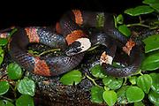 Flame Snake or False Coral (Oxyrhopus petola digitalis)<br /> Yasuni National Park, Amazon Rainforest<br /> ECUADOR. South America<br /> HABITAT & RANGE: Amazon forests.