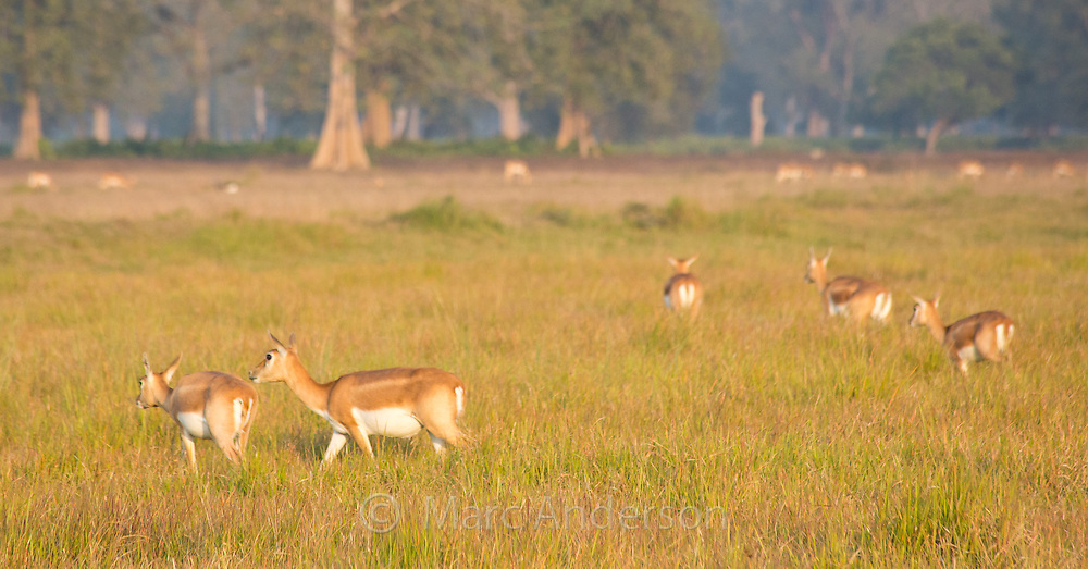 A small herd of female Black Buck antelope (Antilope cervicapra) in the Black Buck Conservation Area, Khairapur, near Gulariya, Nepal