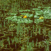 Walking around the muskeg is quite hazardous because there are deep black ponds often vegetated with water plants like this great yellow pond-lily scattered amongst the strange landscape of stunted trees and shrubs, and mounds of sphagnum moss.