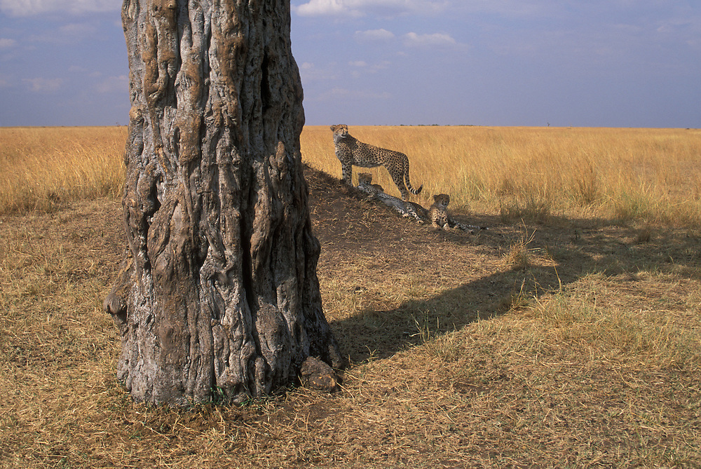 Africa, Kenya, Masai Mara Game Reserve, Adult Female Cheetah and cubs (Acinonyx jubatas) resting under tree on savanna