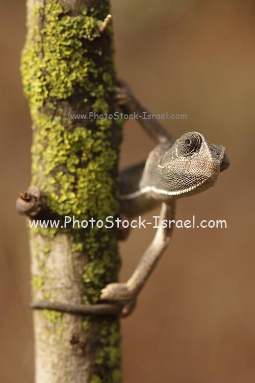 Common Chameleon (Chamaeleo chamaeleon) Photographed in Israel,