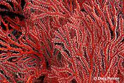 sea fan, Melithaea sp., Christine's Reef, Kimbe Bay, New Britain, Papua New Guinea ( Bismarck Sea / Western Pacific Ocean )