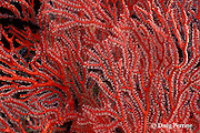 sea fan, Melithaea sp., Christine's Reef, Kimbe Bay, New Britain, Papua New Guinea ( Bismarck Sea / Western Pacific Ocean )
