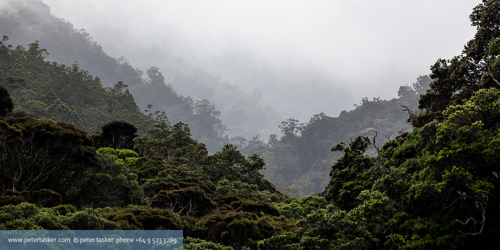 Little Barrier Island.  Mist and rain receeding to white, across ridges of New Zealand native bush.