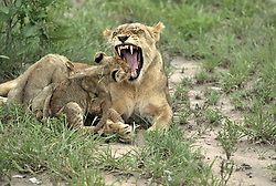 July 6, 2015 - African Lions, lioness with cubs, Sabie Sand Game Reserve, South Africa / (Panthera leo) / cub (Credit Image: © Tuns/DPA/ZUMA Wire)