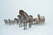 Icelandic horse in a snowstorm.