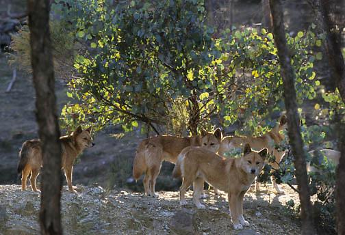 Dingo (Canis familiaris) in Australia.  Captive Animal.
