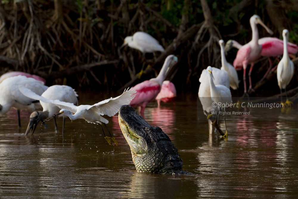 A snapshot of the ecology of the Everglades is shown in this environmental portrait of alligators and water birds. The bull alligator (Alligator mississippiensis) is displaying, and not attempting to catch the snowy egret passing close by.
