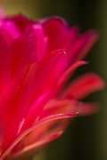Macro view of the torch cactus flower.