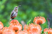A male Cape Sugarbird singing from the tops of pin-cushion flowers and during light rain, Kirstenbosch Botanical Gardens, Cape Town, Western Cape, South Africa