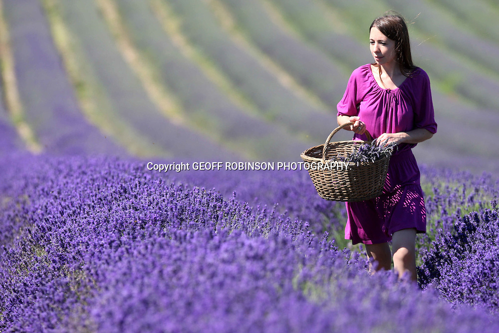 "PIC SHOWS MARIA HUNTER PICKING LAVENDER IN HITCHIN HERTFORDSHIRE ON SUNDAY MORNING JUNE 26 20011 WHICH IS THE HOTTEST DAY OF THE YEAR SO FAR... Deep purple fields of lavender have flowered THREE WEEKS early thanks to the UK's dry and sunny spring...This year's flowers are also extra BRIGHT and vivid after weeks of sunshine in March and April...Farmers had feared the early lavender crop would only have a short season this year because of the warm weather, but they hope the recent rain will now keep it flowering until the end of July...""Lavender does really well in hot, dry conditions so the crop is looking spectacular this year,"" said Tim Hunter, who helps run Hitchin Lavender in Herts...""The hot Spring has brought the flowers out about three weeks earlier than normal and the colour is much more intense...""We were concerned the lack of rain would mean the flowers died quickly, but the wet weather over the last couple of weeks has really helped and there has been lots of new growth.""..Lavender is making a dramatic comeback in Britain with more farmers than ever now growing the bright purple plant...SEE COPY CATCHLINE Lavender three weeks early."
