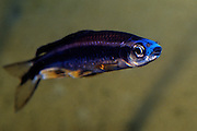 Blue-nosed shiner is a fresh water minnow that is protected in Mississippi.