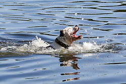 © Licensed to London News Pictures. 22/08/2019. London, UK. A dog cools down in the Serpentine lake in Hyde Park on a warm and sunny day in London. According to the Met Office, the temperatures are forecast to increase to 30 degrees celsius over the bank holiday weekend. Photo credit: Dinendra Haria/LNP