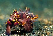 Flamboyant cuttlefish ( Metasepia pfefferi ) hovering over the sand. (Sepiida) Pacific Ocean, Sulawesi, Indonesia, Asia