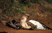 Hawk Eagle grappling with a Land monitor.