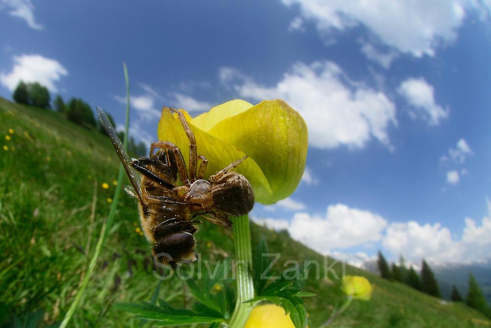 A Ground Crab Spider (Xysticus cristatus) has captured a hoverfly that is larger than the spider itself. The spider quickly bites the prey to immobilize it. Mountain pasture at Großglockner Hochalpenstraße, High Tauern National Park, Austria. | Eine Braune Krabbenspinne (Xysticus cristatus) hat eine Schwebfliege gefangen, die größer ist als die Spinne selbst. Sobald die Spinne ihre Beute erfasst hat, wird diese gebissen, damit sie sich nicht mehr rühren kann. Almwiese an der Großglockner Hochalpenstraße, Nationalpark Hohe Tauern, Österreich.