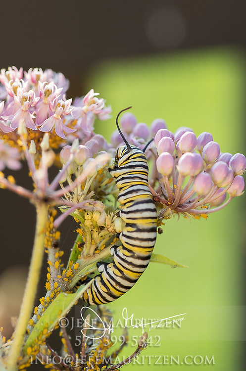 A Monarch catepillar feeds on a pink flowering Swamp milkweed plant.
