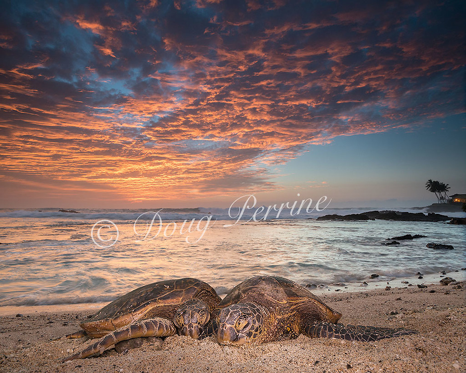 Hawaiian green sea turtles or honu, Chelonia mydas, resting on beach at sunset, Kailua Kona, Hawaii ( the Big Island ), Hawaiian Islands ( Central Pacific Ocean ) [digital composite of two photographs]