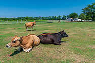 """Cows, Hallockville Museum Farm. Riverhead, NY, """"Find out what life was like on a typical farm on the North Fork of Long Island from 1880 to 1920 by visiting the wonderfully preserved original buildings and observing the artifacts displayed throughout this history museum."""""""