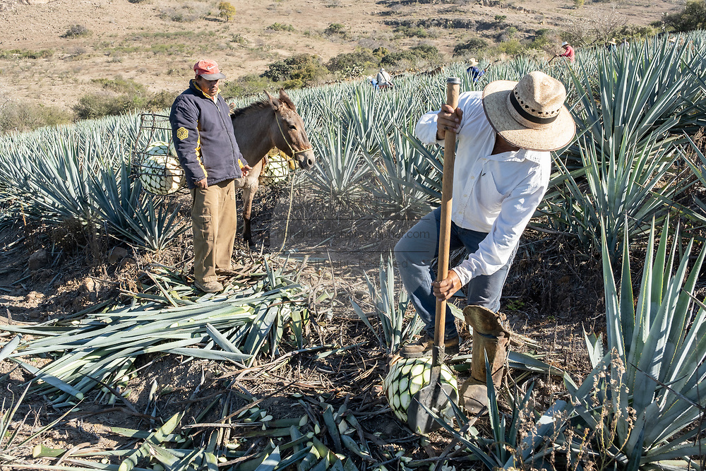 A jimador uses a coa, a knife like spade, to cut the spears off blue agave plants as a loader waits with a donkey to collect the pinas during harvest in a field owned by the Siete Leguas tequila distillery in the Jalisco Highlands of Mexico. Siete Leguas is a family owned distillery crafting the finest tequila using the traditional process unchanged since for 65-years.