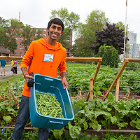 Field to Table Schools Educator Workshop participants Harvesting beans at FoodShare's large market garden at Bendale school on day 1.