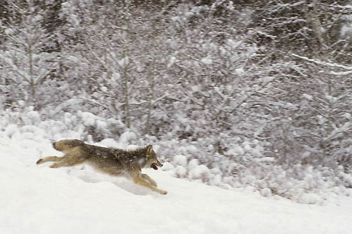 Gray Wolf, (Canis lupus) Running through Snowy foothills of Rocky mountains. Montana. Winter.Captive Animal.