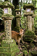 Sacred deer and stone lanterns at Kasuga Taisha.