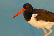 American Oystercatcher (Haematopus palliatus), Little Estero Lagoon, Fort Myers Beach, Florida